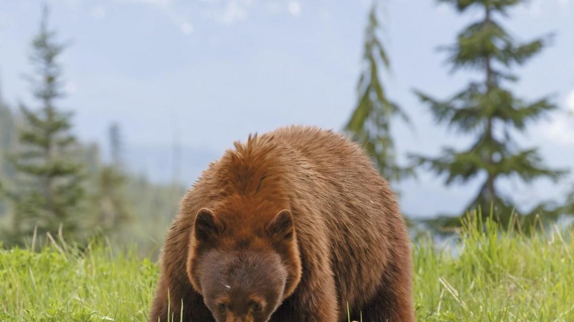 Verlängerungsreise: Goldener Ahorn -  Auf der Fährte des Bären