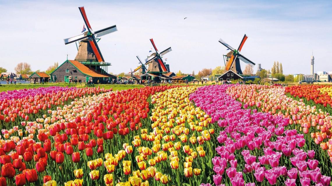 Tulpenfelder mit Windmühlen