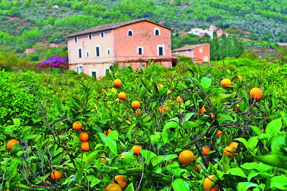 Orangenhain auf Mallorca