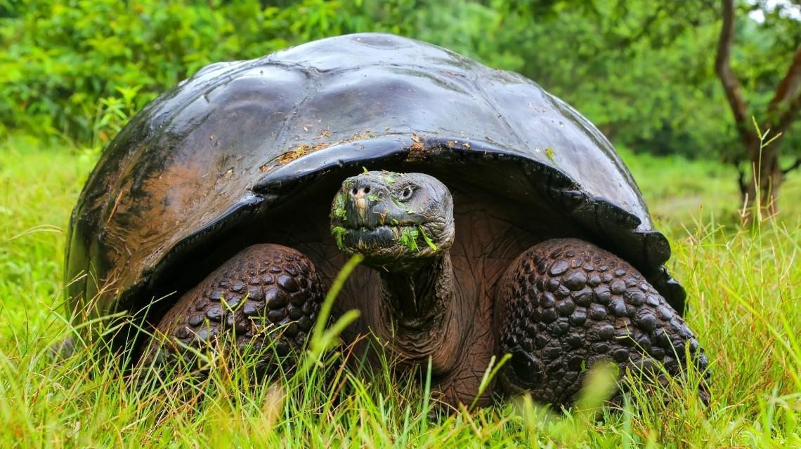 Schildkröte Galapagos Inseln