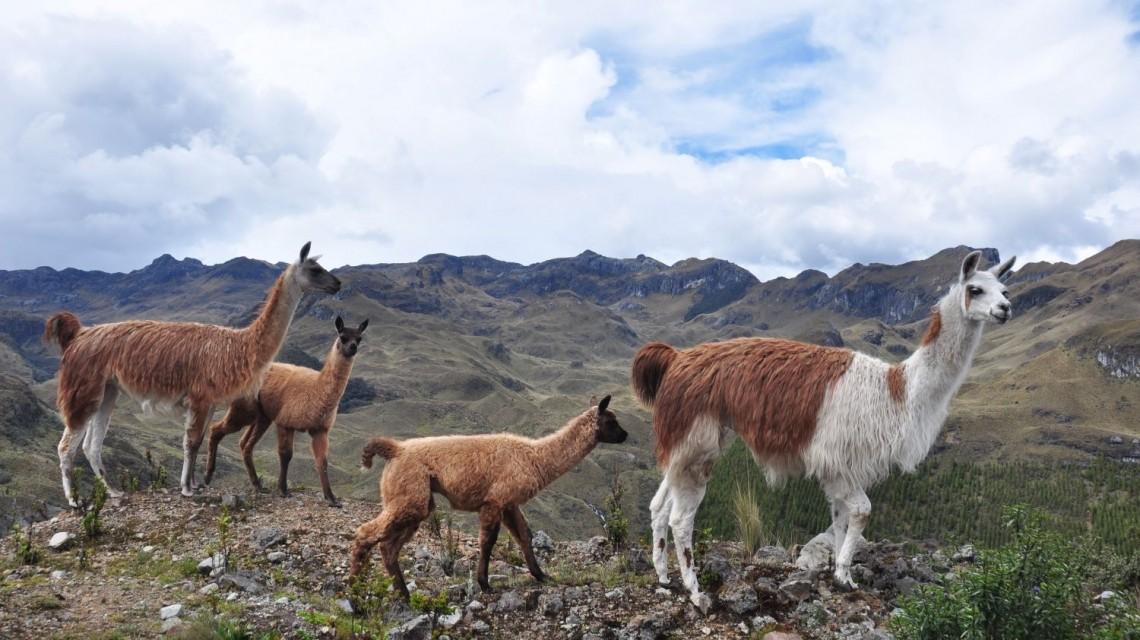 Lamas im El Cajas National Park